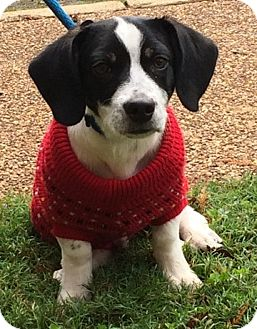 Pointer/Beagle Mix Puppy for adoption in Germantown, Tennessee - Snoopy