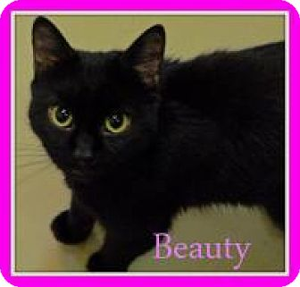 Domestic Shorthair Cat for adoption in Trevose, Pennsylvania - Beauty