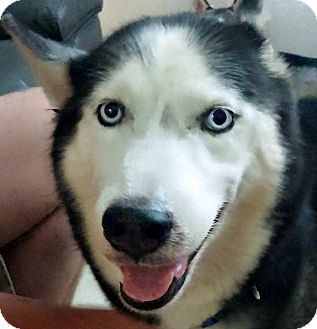 Siberian Husky Dog for adoption in Clearwater, Florida - Milo