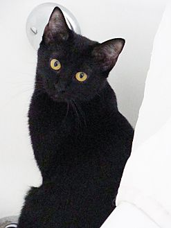 Domestic Shorthair Cat for adoption in los Angeles, California - Pooh