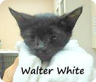 Domestic Shorthair Cat for adoption in Palm Coast, Florida - WALTER WHITE