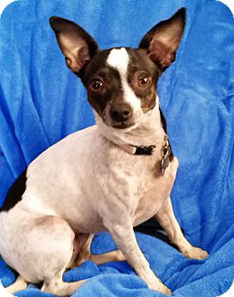 Rat Terrier Mix Dog for adoption in San Francisco, California - Abby