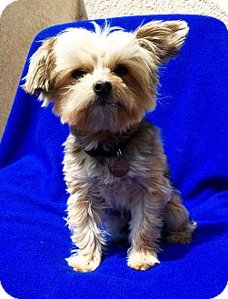 Yorkie, Yorkshire Terrier Dog for adoption in Encino, California - Andy
