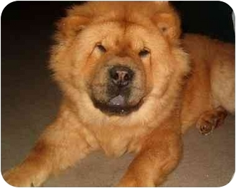 Chow Chow Dog for adoption in Baltimore, Maryland - Tank