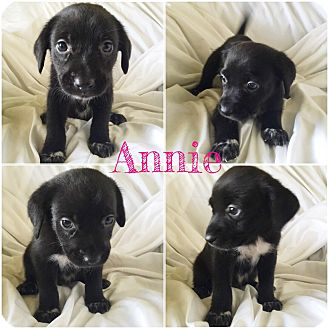 Collie Mix Puppy for adoption in Dallas, Texas - Annie