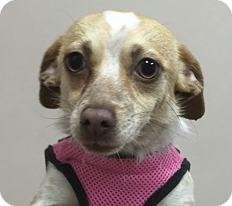 Dachshund/Chihuahua Mix Dog for adoption in Harrisonburg, Virginia - TinkerBell