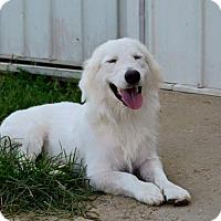 Adopt A Pet :: Samson - Bedminster, NJ