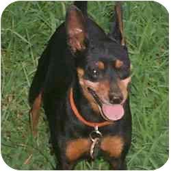 Miniature Pinscher Dog for adoption in Greensboro, North Carolina - Bee Bee