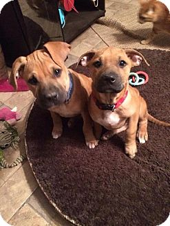 Boxer Mix Puppy for adoption in Brentwood, Tennessee - Molly