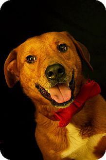 Shepherd (Unknown Type)/Labrador Retriever Mix Dog for adoption in Fort Smith, Arkansas - Jude