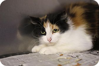 Domestic Longhair Cat for adoption in Midland, Michigan - Sumitomo - BARN