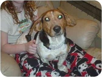 Beagle/Basset Hound Mix Dog for adoption in Eaton, Indiana - chase