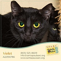 British Shorthair/Domestic Shorthair Mix Cat for adoption in Santa Paula, California - Violet