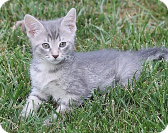 Domestic Shorthair Kitten for adoption in Monroe, North Carolina - Lily