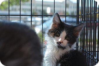 Domestic Shorthair Kitten for adoption in Ogden, Utah - Noodle
