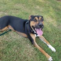 Adopt A Pet :: Odin - Columbia, SC