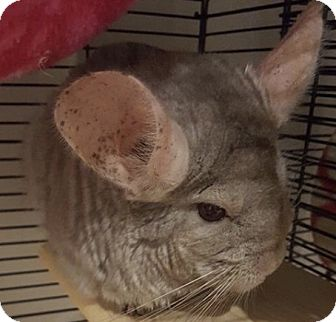Chinchilla for adoption in Patchogue, New York - Ruby