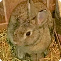 Adopt A Pet :: Polly - Fairfax, VA