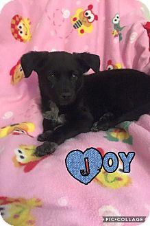 Australian Shepherd Mix Puppy for adoption in Mesa, Arizona - JOY 8 WEEK AUST SHEPHERD FEMAL