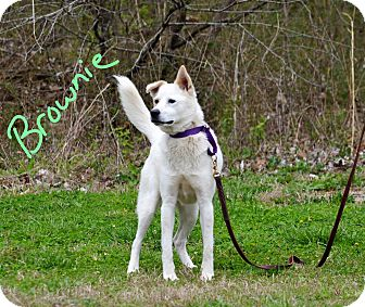 Husky/Labrador Retriever Mix Dog for adoption in Lebanon, Missouri - Brownie