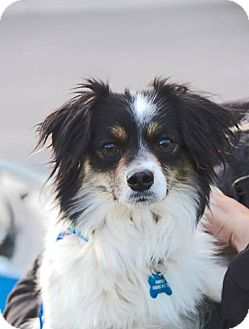 Papillon/Pomeranian Mix Dog for adoption in Meridian, Idaho - Grace