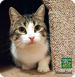 Domestic Shorthair Cat for adoption in Oakville, Ontario - Houdini
