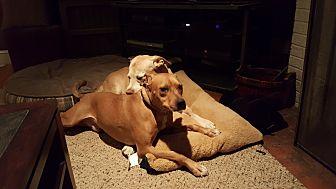 Terrier (Unknown Type, Medium) Mix Dog for adoption in Springfield, Pennsylvania - Makana