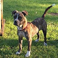 Boxer/Plott Hound Mix Dog for adoption in Conroe, Texas - Widget