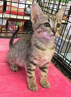 Domestic Shorthair Kitten for adoption in Gilbert, Arizona - Krispen