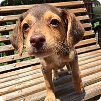 Poodle (Miniature)/Chihuahua Mix Puppy for adoption in Spring Valley, New York - Dylan (RBF)