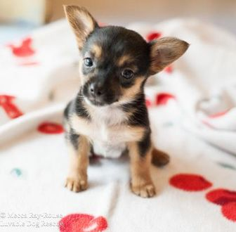 Chihuahua/Miniature Pinscher Mix Dog for adoption in Eugene, Oregon - Merryweather