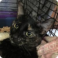 Adopt A Pet :: Torre - Monroe, NY