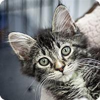 Adopt A Pet :: Lalo - Napa, CA