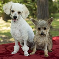 Adopt A Pet :: Bonnie and Clyde- adorable bonded siblings - Santa Fe, TX