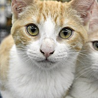 Adopt A Pet :: Topaz - Eureka, CA