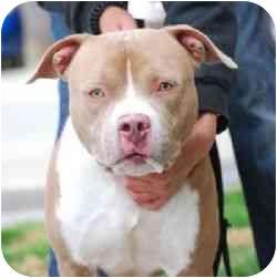 American Pit Bull Terrier Dog for adoption in Berkeley, California - Remi