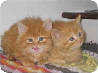 Domestic Longhair Kitten for adoption in Columbus, Nebraska - William & Harry