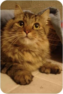 Maine Coon Cat for adoption in Davis, California - Lawrence