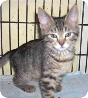 Domestic Shorthair Kitten for adoption in Colmar, Pennsylvania - Merry