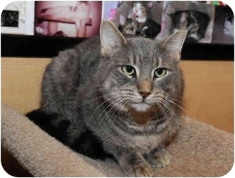 Domestic Shorthair Cat for adoption in Farmingdale, New York - Buster