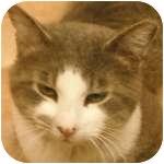 Domestic Shorthair Cat for adoption in Wheaton, Illinois - Garrett