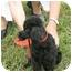 Photo 2 - Poodle (Miniature) Mix Dog for adoption in Statesville, North Carolina - Pierre