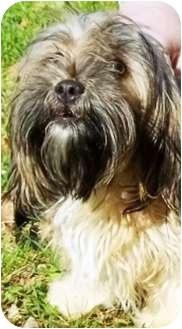 Shih Tzu Dog for adoption in Oswego, Illinois - Cupcake