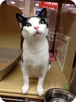 Domestic Shorthair Cat for adoption in Farmingdale, New York - Citrine