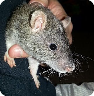 Rat for adoption in Lakewood, Washington - Agouti Dot Rex