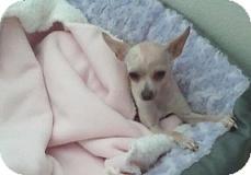 Chihuahua Mix Dog for adoption in Mesa, Arizona - Skyler
