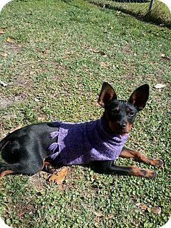 Miniature Pinscher Dog for adoption in Jacksonville, Florida - Peanut