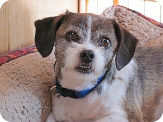 Shih Tzu/Terrier (Unknown Type, Small) Mix Dog for adoption in Coldwater, Michigan - Sid