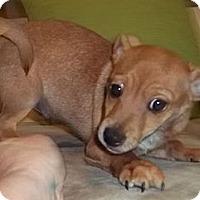 Adopt A Pet :: Uzzial - Allentown, PA