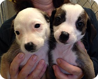 Terrier (Unknown Type, Medium) Mix Puppy for adoption in Greensburg, Pennsylvania - Carisma and Celeste